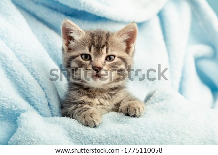 Kitten portrait with paws. Cute tabby kitten in blue plaid. Newborn kitten Baby cat Kid domestic animal. Home pet. Cozy home winter #1775110058