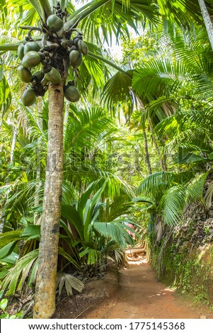 "Famous endemic coconuts of Seychelles ""coco de mer"" (Lodoicea maldivica) growing on the palm. Vallee de mai, Praslin, Seychelles Royalty-Free Stock Photo #1775145368"