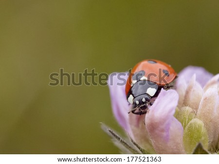 ladybird on pink flower #177521363