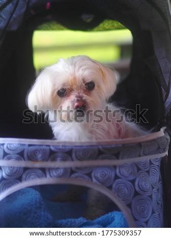 cute little white Maltese puppy picture