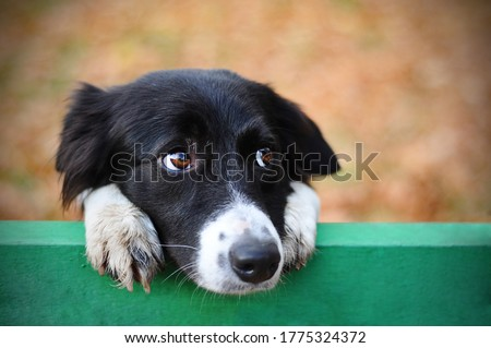 Skeptic sad border collie dog thinking & dont know what to do in park looks depressed. Homeless witty dog sad eyes thinking - look side. Collie dog sad eyes closeup hanging on bench. Collie thinking #1775324372
