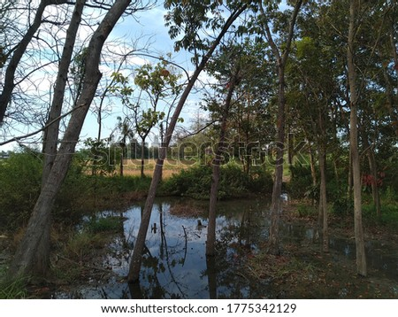 natural pond with teak tree and blue sky reflections on the water #1775342129
