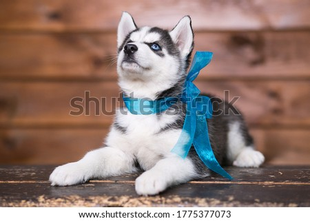 Cute Siberian husky puppy with blue eyes.Portrait.Close up. Postcard.Beautiful picture