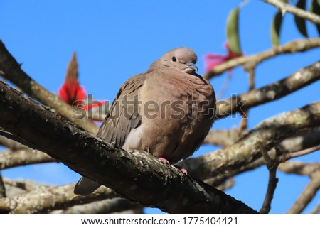 very fat dove perched on a tree branch, obese bird in its natural habitat #1775404421