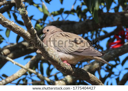 very fat dove perched on a tree branch, obese bird in its natural habitat #1775404427