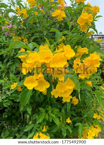 Yellow trumpet flowers shrubs in Pechaburi Thailand look colourful have name in auspicious meaning Tong urai.