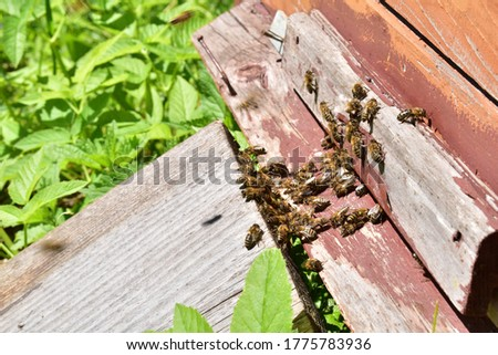 Bees at the entrance to the hive in the apiary