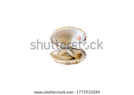 One fresh organic open shell venus clam (Venus verrucosa) isolated on white background