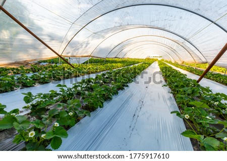 Cultivation of strawberry fruits using the plasticulture method, plants growing on plastic mulch in walk-in greenhouse polyethylene tunnels Royalty-Free Stock Photo #1775917610