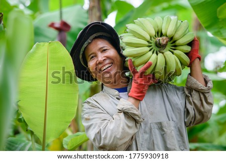 An Asian female farmer is holding raw bananas and collecting products in her banana plantation. Concept: Green fresh bananas #1775930918