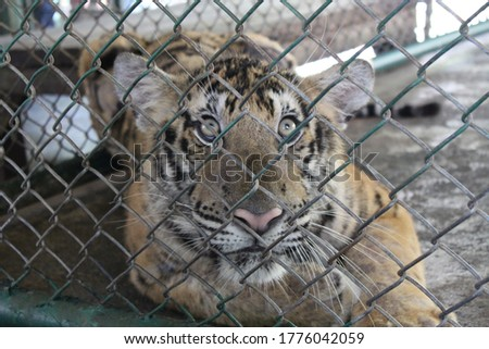 Caged picture of a tiger