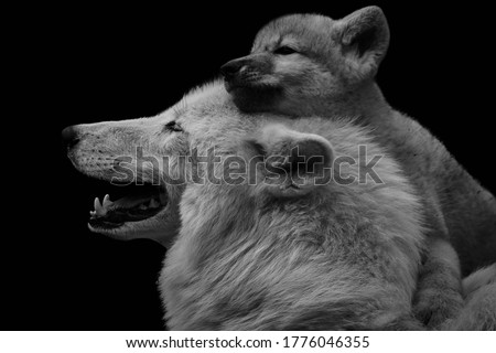 Black and white image of Arctic wolf with adorable pup (Canis lupus arctos) isolated on black background. The young wolf cub embraces mother. Royalty-Free Stock Photo #1776046355