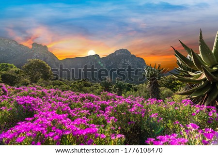 Kirstenbosch National Botanical Garden during sunset in Cape Town South Africa Royalty-Free Stock Photo #1776108470