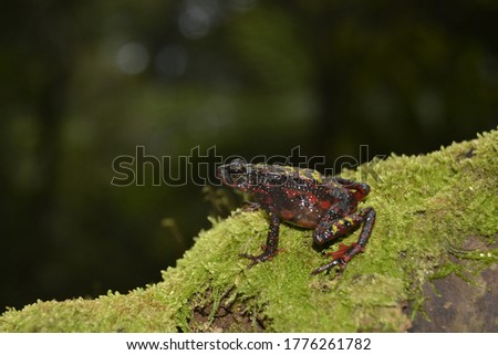 The bleeding toad, fire toad, or Indonesia tree toad (Leptophryne cruentata) is a species of true toad, family Bufonidae, endemic to Java, Indonesia. #1776261782