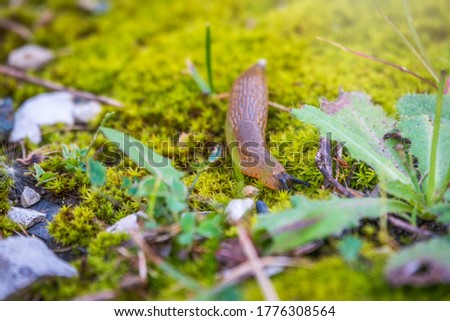 A slug crawling on moss and grass. A slug crawls through the grass with his feelers out. The Spanish slug, also known by its scientific name Arion vulgaris and Arion lusitanicus. Royalty-Free Stock Photo #1776308564