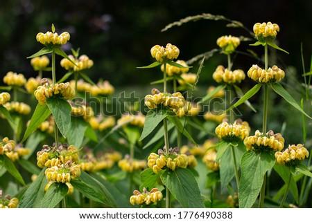 Yellow wildflower of the jerusalem or turkish sage, Phlomis russeliana or Russel Brandkraut #1776490388