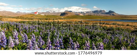 Panoramic view on tipical Icelandic Landscape. Wonderful view on famous  Ingjaldsholl church and Blooming lupine flowers on foreground. Amazing nature of Iceland. Picture of wild area. beauty in world