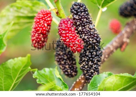 Fresh mulberry on tree - Berry fruit in nature, mulberry twig #177654104