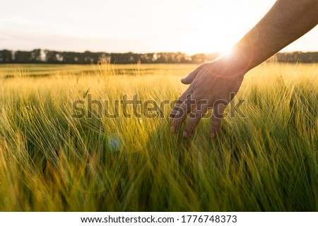 Barley sprouts in a farmer's hand.Farmer Walking Through Field Checking barley Crop. #1776748373