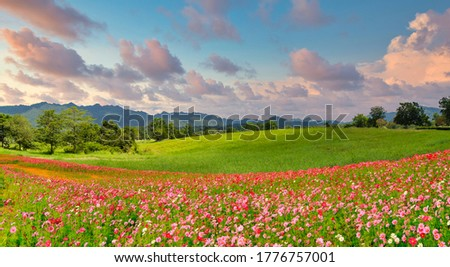 Panoramic view of landscape of the cosmos flower field and green field on the hill at sunrise time. Royalty-Free Stock Photo #1776757001