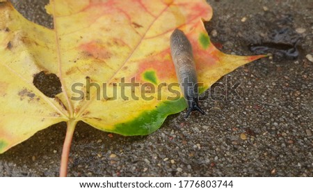 slug crawling on a fallen maple leaf