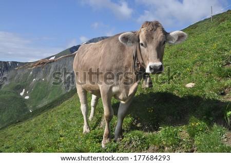 Cow #177684293