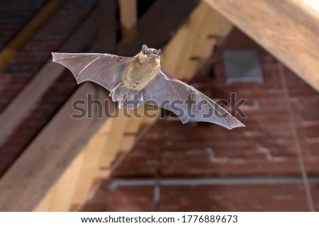 Flying Pipistrelle bat (Pipistrellus pipistrellus) action shot of hunting animal on wooden attic of city church. This species is know for roosting and living in urban areas in Europe and Asia. Royalty-Free Stock Photo #1776889673
