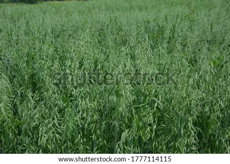 Oat, oats field, field with growing oats, green oats, oats cultivation.Unripe Oat harvest, green field #1777114115