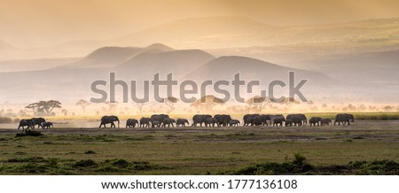 Elephant herd in savannah panorama. Elephants in savannah. Elephant herd panoramic landscape