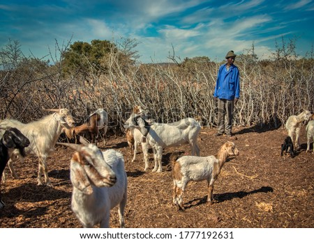african man with his herd in the krall in an african village in Botswana Royalty-Free Stock Photo #1777192631