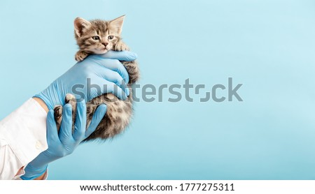 Kitten vet examining. Striped gray cat in doctor hands on color blue background. Kitten pet check up, vaccination in veterinarian animal clinic.Health care domestic animal. Copy space Royalty-Free Stock Photo #1777275311