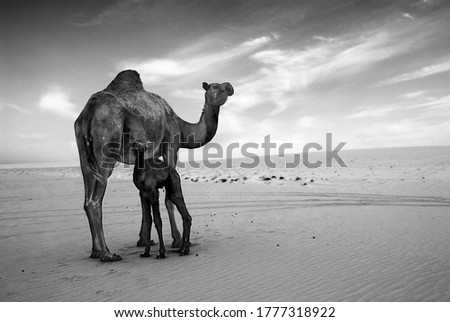 Small camel with its camel mother in the desert wildlife #1777318922