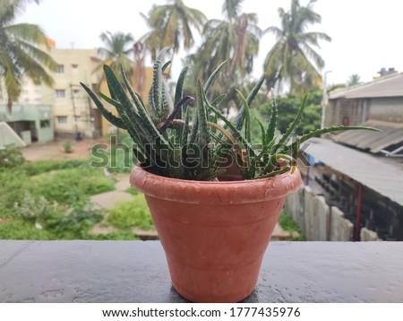 Aloe Vera in Pot while it was Raining. Aloe vera Image and Plant picture in HD. natu photo, picture of Natu. Natu Images