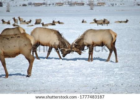 This is a picture of two bucks sparring in Jackson Hole Wyoming. This was taken at the Elk Refuge.