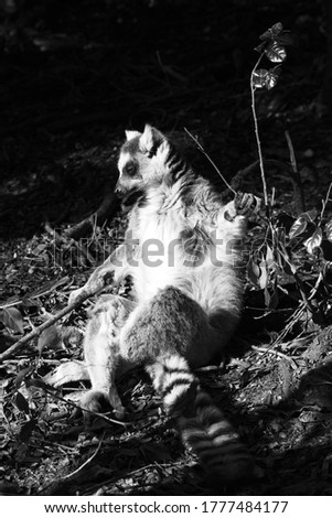 A ring-tailed lemur (Lemur catta) sitting in the sun in a forest. Black and white photo.