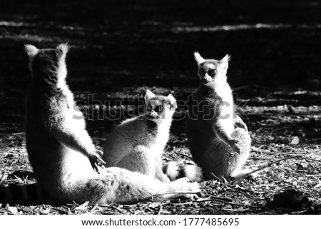 Three cute ring-tailed lemurs (Lemur catta) sitting in the sun in a forest.