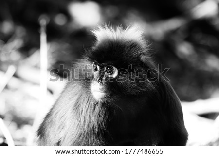 A picture of a young male Dusky Leaf Monkey(spectacled Langur) in a forest. Black and white photo.