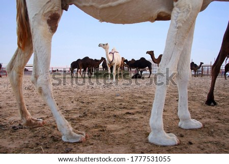 A group of camel herd #1777531055