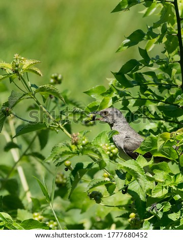Northern Mockingbird collecting berries in a Lantana bush.