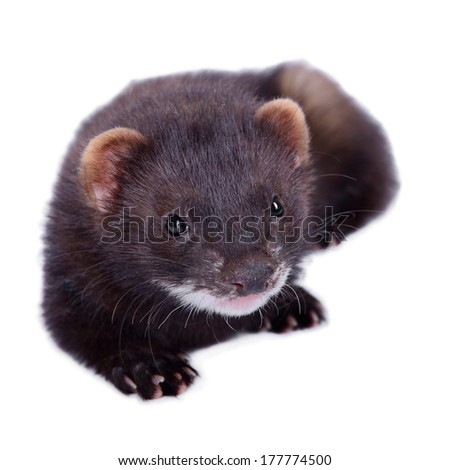 small animal rodent ferret on a white background #177774500