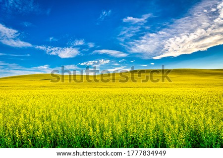 Summer hill valley yellow flowers field landscape. My blue heaven summer field. Yellow field in summer #1777834949
