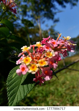 Lantana camara (tahi ayam, sailara, tembelekan, common lantana, big sage, wild sage, red sage, white sage, tick berry, West Indian lantana, umbelanterna) with natural backrgound. #1777886717