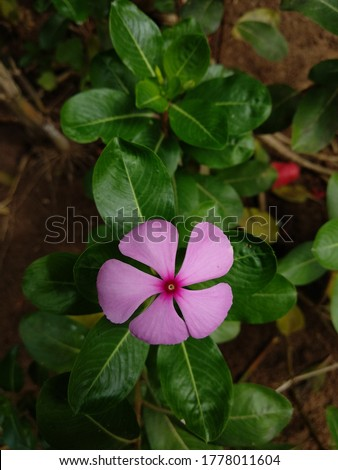 Catharanthus roseus, commonly known as bright eyes, Cape periwinkle, graveyard plant, Madagascar periwinkle, old maid, pink periwinkle, rose periwinkle #1778011604