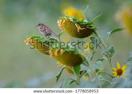 The House Sparrow Passer domesticus is a bird of the sparrow family Passeridae. Photo of the bird in a field of sunflowers.
