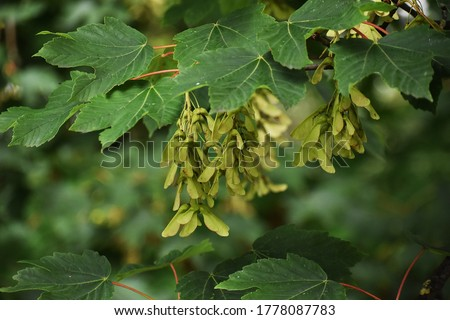 Branches with seeds and leaves of Acer Pseudoplatanus tree, known as the Sycamore or the Sycamore Maple. #1778087783