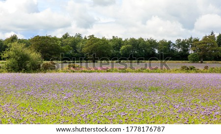 Field growing a cover crop of Phacelia Tanacetifolia  flowers in Dumfries and Galloway  Scotland