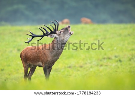 Majestic red deer, cervus elaphus, roaring on meadow in autumn nature. Magnificent stag with huge antlers standing on green grass. Wild animal bellowing in rutting season on pasture. Royalty-Free Stock Photo #1778184233