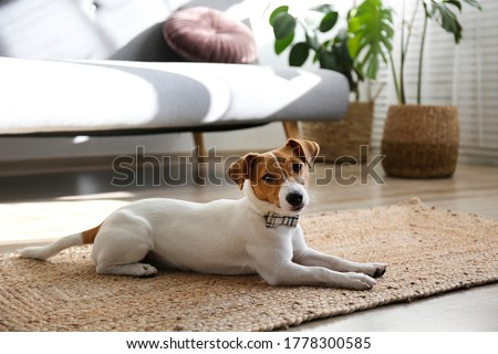 Cute four months old Jack Russel terrier puppy with folded ears at home. Small adorable doggy with funny fur stains wearing bowtie. Close up, copy space, background. Royalty-Free Stock Photo #1778300585