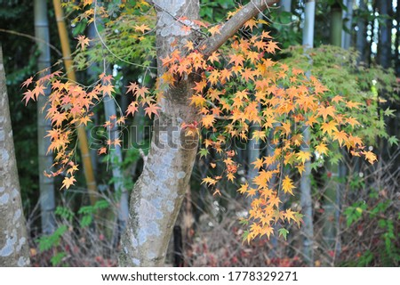 Beautiful branch with bright yellow maple leaves in a japanese park. Japan - fantastic travel destination in autumn. Autumn outdoor. Autumn background. Autumn garden. High quality photo.