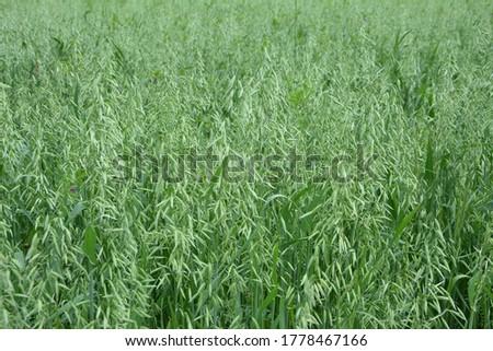 Oat, oats field, field with growing oats, green oats, oats cultivation.Unripe Oat harvest, green field #1778467166